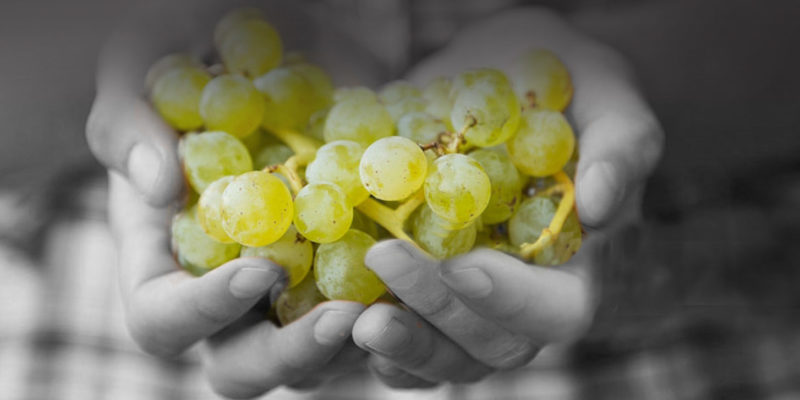 Monochrome Wines Paso Robles, CA handful of white grapes